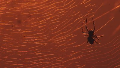 Extreme close up of Spiders on a web at sunset