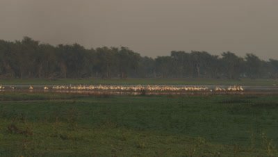 Flock of Great White Pelican in resting in a waterway