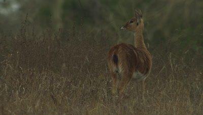 Female Impala in the savanna, listening to surroundings