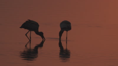 Yellow-billed Storks wading in the water at sunset