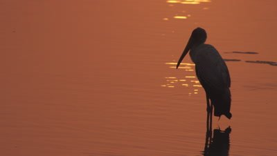 Yellow-billed Stork wading in the water at sunset