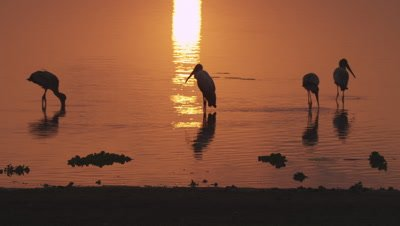 Yellow-billed Storks wading in and flying over the water at sunset