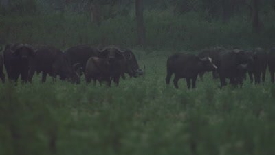 Cape Buffalo grazing in the savanna