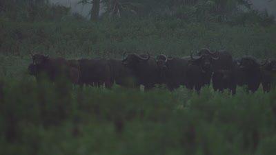 Cape Buffalo grazing in the savanna