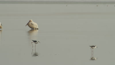 Great White Pelicans and Sandpipers wading in the water