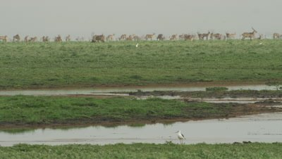 Sandpiper wading in a river as Waterbuck graze in the distance