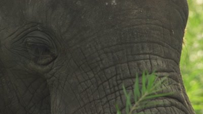 African Elephant grazing in a tree clearing; close up on Elephant's eyes