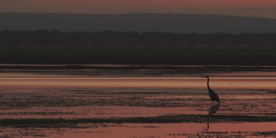 Grey Heron wading in a river at sunset