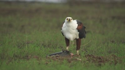 African Fish Eagle feeding on a captured fish