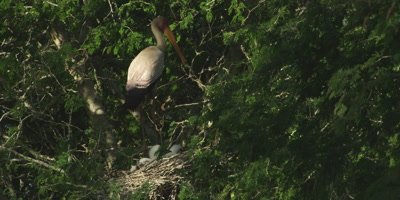 Yellow-billed Stork in tree with chicks