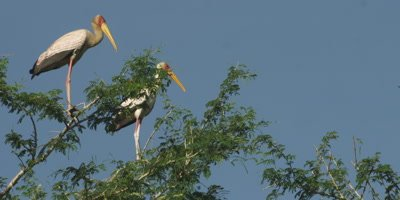 Yellow-billed Storks perched in a tree