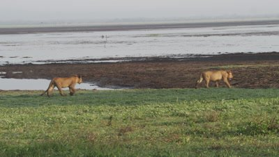 Lionesses and cub surverying waterside