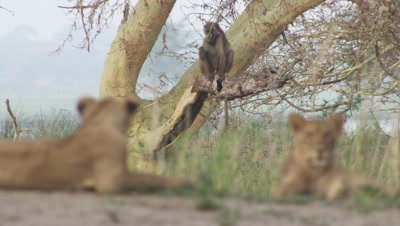 Lion cubs resting under tree; a Baboon sits on a tree in the background