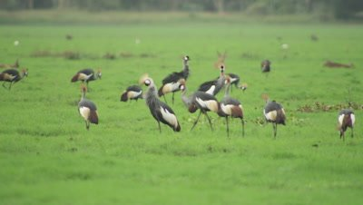 Grey Crowned Cranes searching for food