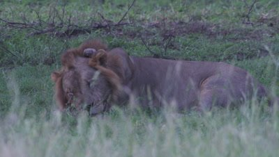 Collared male Lion resting in clearing