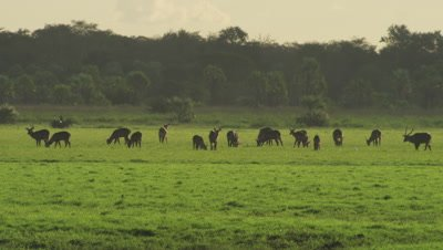 Herd of Waterbuck grazing