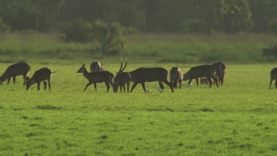 Herd of Waterbuck grazing