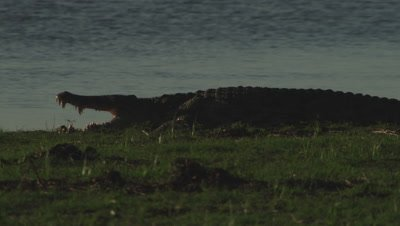 Nile Crocodile basking near the edge of the water, with jaws wide open