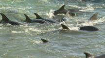 Cu Trapped Dolphins Panicking