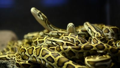 Pack of snakes
