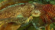 Australian Giant Cuttlefish Mating Displaying