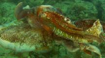 Australian Giant Cuttlefish Mating Displaying