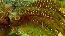 Australian Giant Cuttlefish Spawning