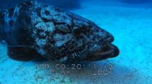 Potato Cod Grouper ( Epinephelus Tukula) Spawning, Courting, Mating