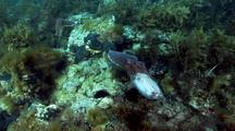 Australian Giant Cuttlefish (Sepia Apama)