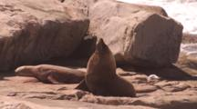 Australian Sea Lion (Neophoca Cinera) Birth
