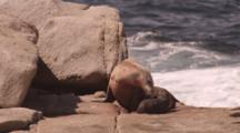 Australian Sea Lion (Neophoca Cinera) Newborn Pup, Birth