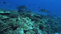 Green Turtle (Chelonia Mydas), Hard Corals