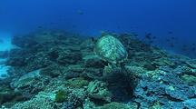 Green Turtle (Chelonia Mydas) Coral  Reef