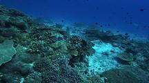 Coral Bommie, Coral  Reef, Chromis