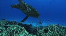 Male Green Turtle (Chelonia Mydas) At Cleaning Station