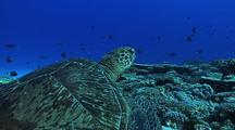 Green Turtle (Chelonia Mydas) At Cleaning Station