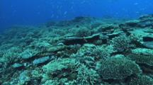 Pristine Coral Reef, Fusiliers, Green Puller (Chromis)