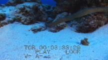 Olive Sea Snake Hunts On Reef
