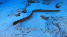 Olive Sea Snake Travels Across Sand Toward Reef