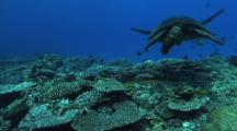 Male Green Turtle (Chelonia Mydas), Abundant Hard Corals, Cleaning Station