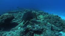 Male Green Turtle (Chelonia Mydas), Abundant Hard Corals, Cleaning Station