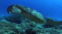 Male Green Turtle (Chelonia Mydas), Cleaning Station, Hard Corals