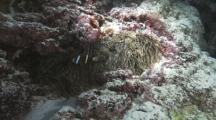 Anemone Among Hard Corals, Anemone Fish, Demsel