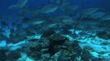 Trevally, Blue Green Chromis, Fusiliers