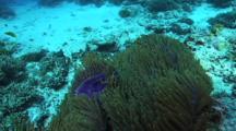 Anemone Among Hard Corals