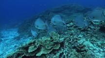 Abundant Hard Corals, Fusiliers, School Of Batfish