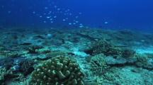 Blue Green Chromis, Hard Corals