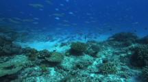 Blue Green Chromis Feeding, Hard Corals, Fusiliers