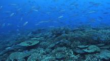 Fusiliers, School Of Blue Green Chromis Feeding, Hard Corals