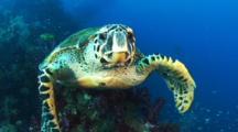 Hawksbill Turtle Travels Around Yongala Wreck